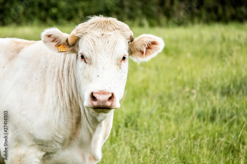 Poster de jardin Vache Portrait d'une vache blanche dans un champs