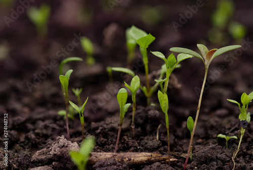 Poster Vegetal Young green pea sprout germinates from the ground