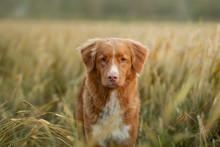Happy Dog In A Wheat Field. Pe...