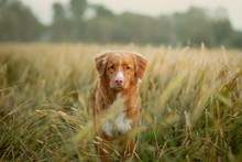 Happy Dog In A Wheat Field. Pet On Nature. Red Nova Scotia Duck Tolling Retriever, Toller
