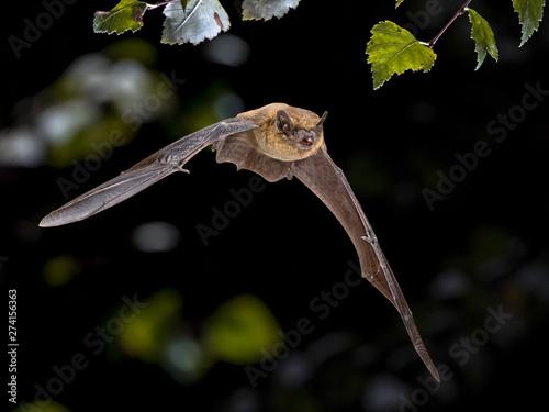 Fotomural  Flying Pipistrelle bat iin natural forest background