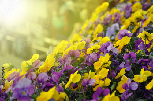 Garden Poster Pansies Multicolor pansy flowers or pansies as background or card.