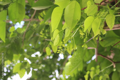 Poster Printemps green leaves of tree