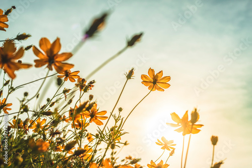 Aluminium Prints Universe Yellow sulfur Cosmos flowers in the garden of the nature with blue sky with vintage style.