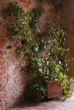 Potted Ivy Grows On An Old Bri...