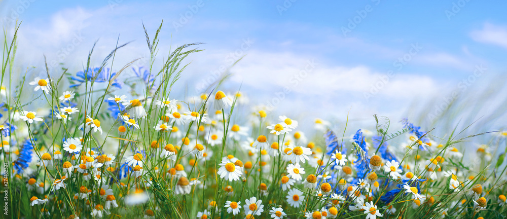 Fototapeta Beautiful field meadow flowers chamomile, blue wild peas in morning against blue sky with clouds, nature landscape, close-up macro. Wide format, copy space. Delightful pastoral airy artistic image.