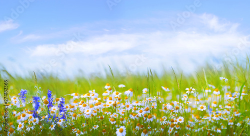 Foto auf Gartenposter Himmelblau Many daisies in the field in green grass in wind against blue sky with clouds. Natural landscape with wild meadow flowers, wide format, copy space.