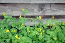 Greater Celandine Chelidonium Majus, Tetterwort, Nipplewort On The Background Of The Fence