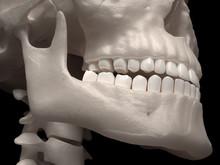 Human Jaw And Teeth