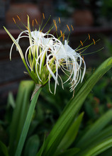 White Beach Spider Lily Tropical Flower