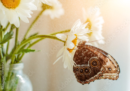 Ingelijste posters Vlinder tropical butterfly Morpho sits on a white flower in a bouquet of large daisies and gerberas on a white background, macro.