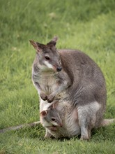 An Adult Wallaby With A Small ...