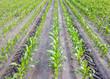 Mais auf Acker in Reihen dazwischen Traktor Spuren