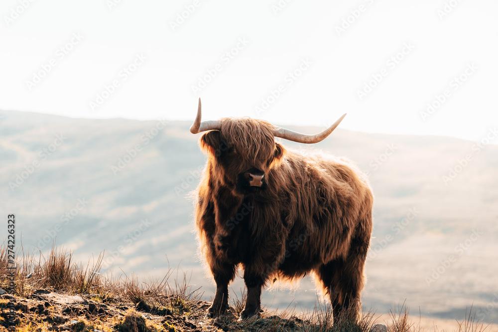 Fototapeta Highland Cow in Isle of Skye, Scotland.