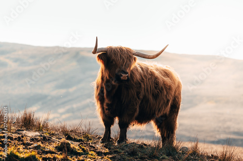 Fototapeta Highland Cow in Isle of Skye, Scotland.