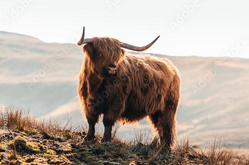 Fototapeta Highland Cow in Isle of Skye, Scotland. obraz