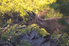 Roe Deer, Capreolus Capreolus ...