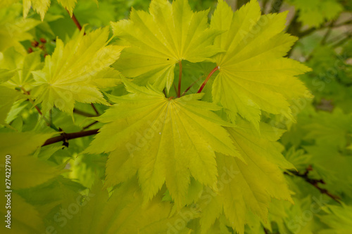 Bright green acer leaves Canvas Print