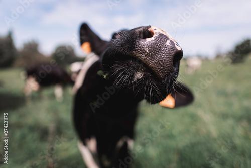 Fotografiet vache normande