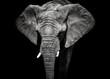 Monochrome portrait elephant