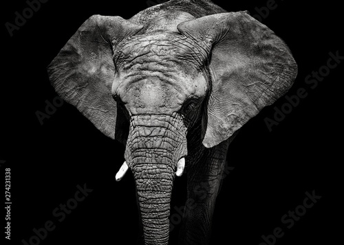 Monochrome portrait elephant Canvas Print