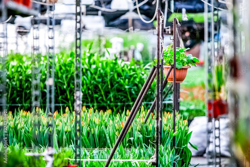 Fototapety, obrazy: Beautiful flowers at greenhouse