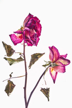 Two Dried Roses On White Background