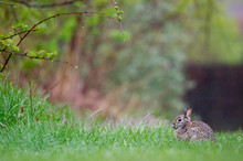 An Eastern Cottontail Rabbit S...