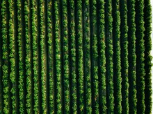 Aerial View Of Potato Rows Fie...
