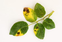 Fungal Disease Black Spot Of Rose Caused By Diplocarpon Rosae, Leaf On White Background