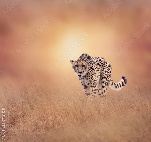 Leinwand Poster Cheetah walking in the grassland