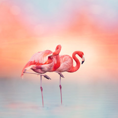 Fototapeta Ptaki Two Pink flamingos at sunset