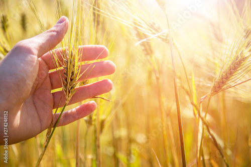 Obraz na plátně  Male farmer is touching wheat crop ears in a field, sunset