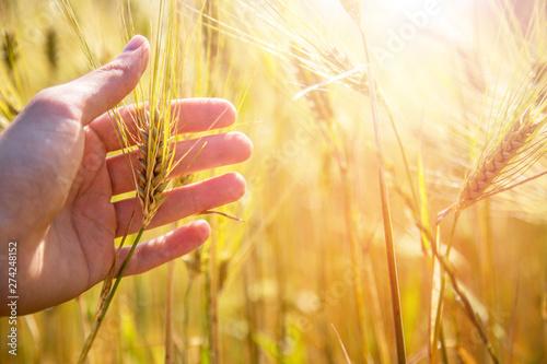 Fototapeta  Male farmer is touching wheat crop ears in a field, sunset