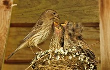 Female House Finch (Haemorhous...