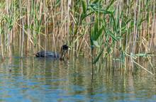Coot In Reeds In Wetlands In Latvia