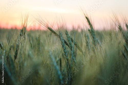 Foto op Plexiglas Weide, Moeras Green wheat in a field at sunset