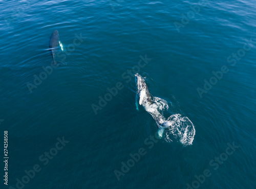 Aerial view of Humpback whale, Iceland. - 274258508