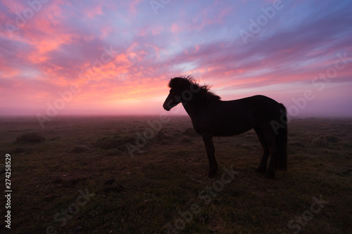 Group of Icelandic horse in beautiful sunset