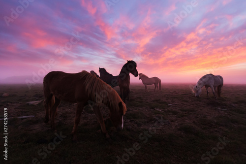 Photo Stands India Group of Icelandic horses in beautiful sunset