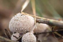 Lycoperdum Perlatumot Puffball Mushrooms Close Up