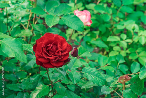 Red Rose. Blooming red rose in the city garden. Red rose on a background of green leaves.