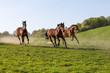 drei Pferde im vollen Galopp