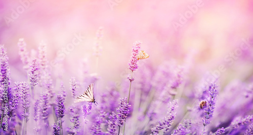 Foto op Aluminium Lavendel Banner purple lavender field with butterflies and bees at sunset. Copy space