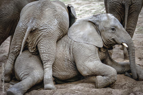 Loxodonta africana - African elephants Canvas Print
