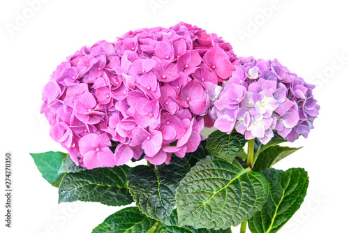 Papiers peints Hortensia Pink purple hydrangea flower in flower pot on white background