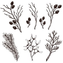 Dry Twigs, Fir Branch, Thuja, Mistletoe And Alder Cones. Hand Drawn Vector Set.