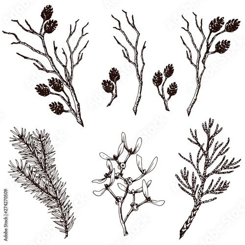 Fototapeta Dry twigs, fir branch, thuja, mistletoe and alder cones. Hand drawn vector set. obraz