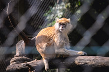 Patas Monkey Also Called Wadi ...