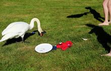 Urbanized Swan Look For Food A...